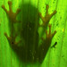 I love the red eyed tree frogs :). I'm so glad to see htem. Jaguar Rescue Centre. Puerto Viejo, Costa Rica 25APR12