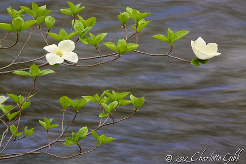 Dogwood Over the Merced River, Yosemite Valley