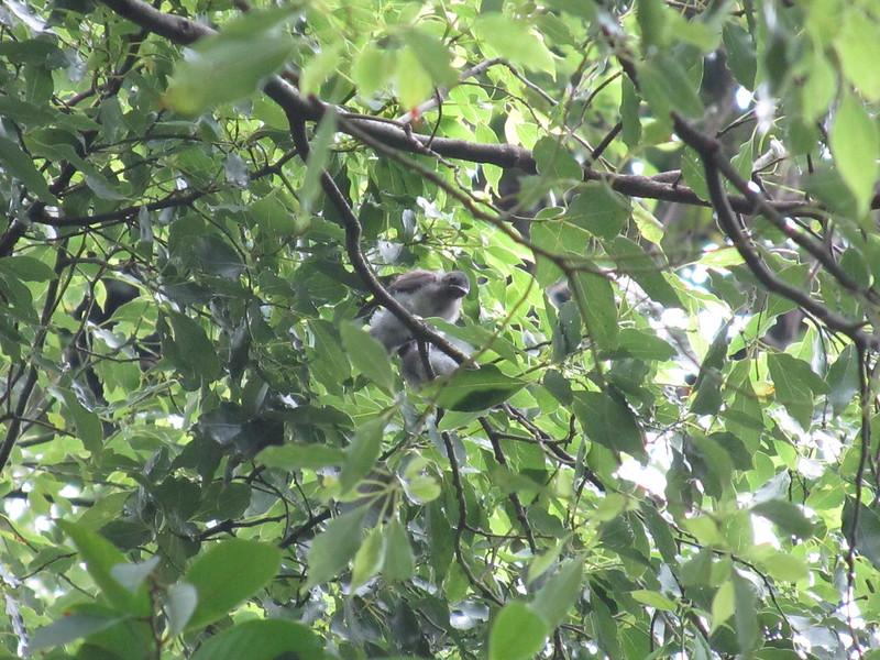 黑枕藍鶲雛鳥