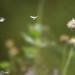 Small photo of Taraxacum (Dandelion)