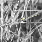 Damselfly... is it staring and grinning at me?