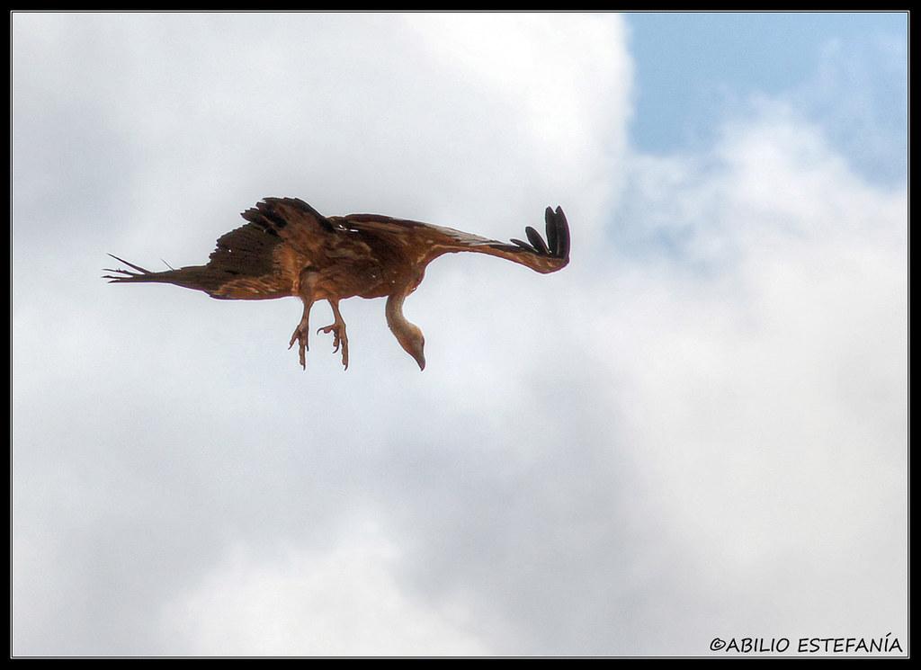 Buitre preparado para aterrizar