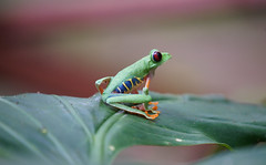 Red-Eyed Green Tree Frog by Duplisea