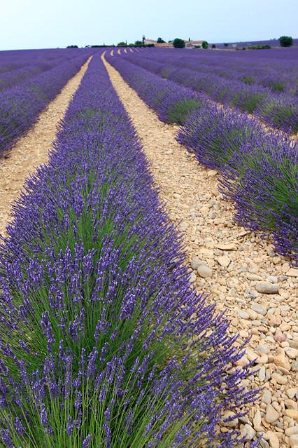 ProvenceLavender2