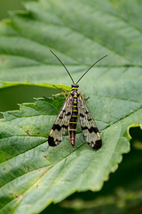 Mouche-scorpion (Panorpa communis)