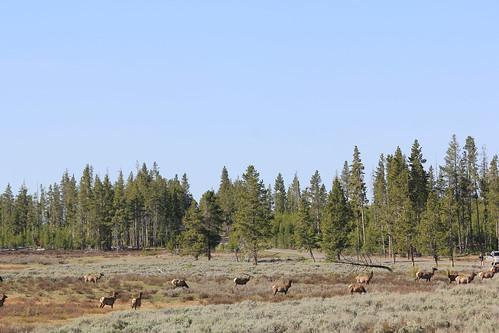 Elk Herd 2
