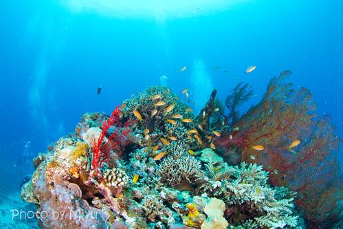 サンゴの根にいるキンギョハナダイ