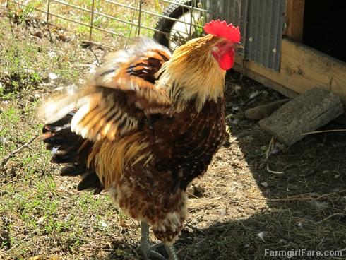 (19-7) Cock-a-doodle-doo! - FarmgirlFare.com