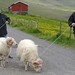 Taking sheep for a walk in Klaksvik, Faroes
