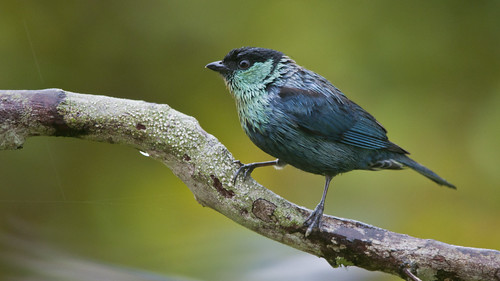 Tangara heinei male (Black-capped Tanager)