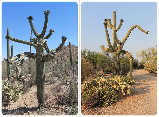 saguaros with many arms