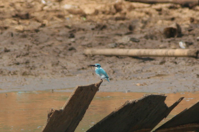 Header of Alcedo coerulescens