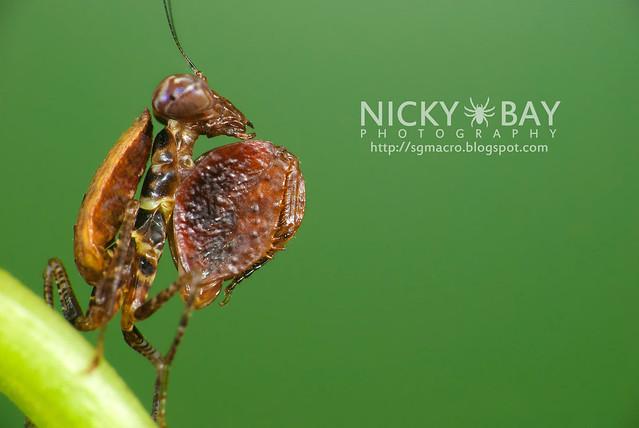 Boxer Mantis (Otomantis sp.?) - DSC_6537