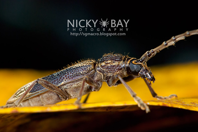 Longhorn Beetle (Cerambycidae) - DSC_6008