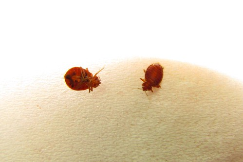 IMG_6473_Bedbugs_at_Best_Western_Paducah_KY