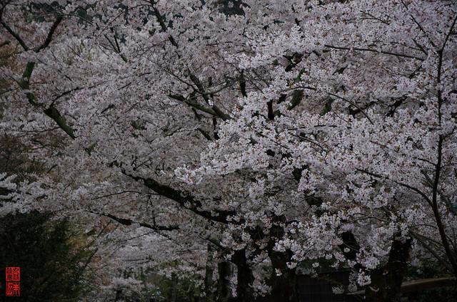 「満開」 哲学の道 - 京都