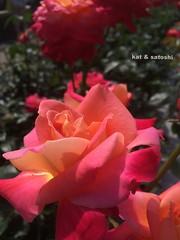 aramaki rose park 2016