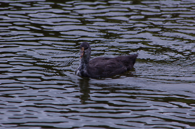Coot chick swimming by