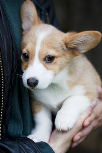 Corgi Puppy by protogarrett