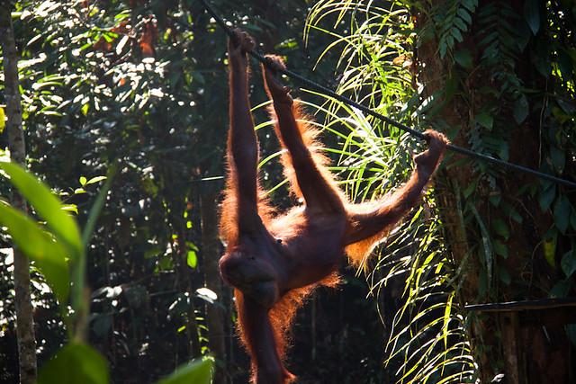 Orangutans sarawak