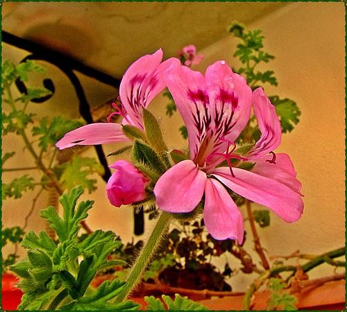 [7001] Pelargonium odoratisimum, Geranium by M.fahlio