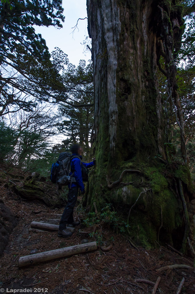 屋久杉を見上げる
