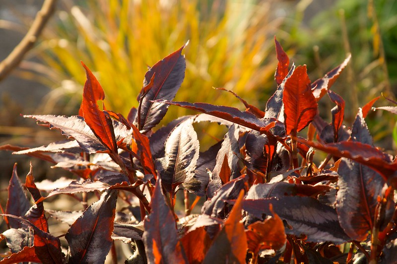 persicaria red dragon  1442