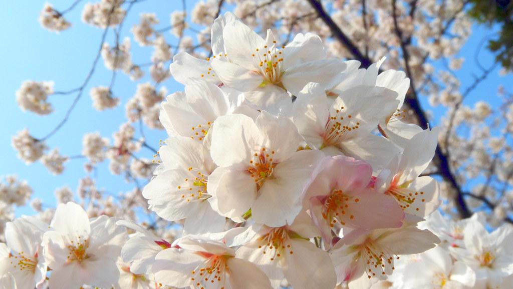 quand et combien de temps fleurissent les cerisiers dozodomo. Black Bedroom Furniture Sets. Home Design Ideas