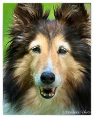 mane(0.0), rough collie(0.0), dog breed(1.0), animal(1.0), dog(1.0), mammal(1.0), scotch collie(1.0), collie(1.0), shetland sheepdog(1.0),
