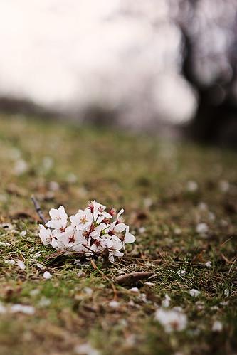 Fallen Cherry Blossoms.