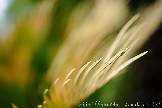 ソテツ [Cycas revoluta]...
