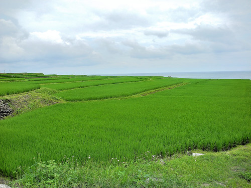 Rice Paddy on the Edge of the Sea