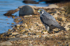Peregrine Falcon Nick Chill Photography