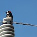 Small photo of Acorn Woodpecker