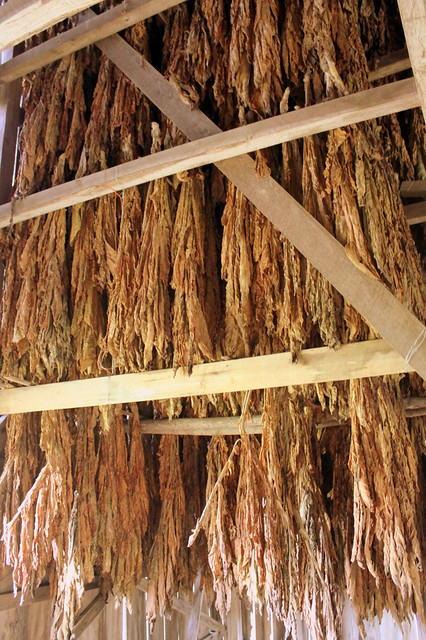Inside a tobacco barn