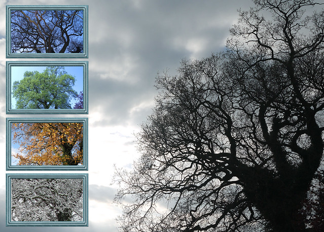 My Oak Tree Through the Seasons
