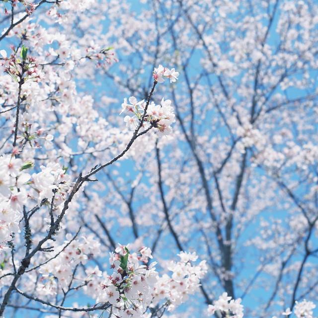 Cherry Blossoms (Sakura)