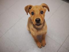 [フリー画像素材] 動物 1, 犬・イヌ, 子犬・小犬 ID:201204271000