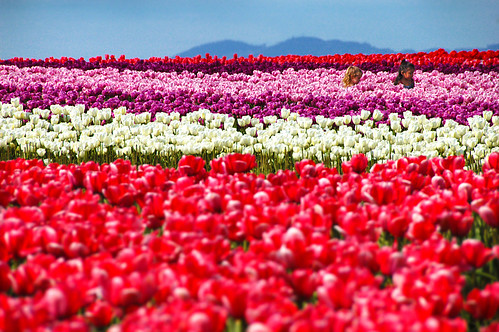 girls and tulips♥