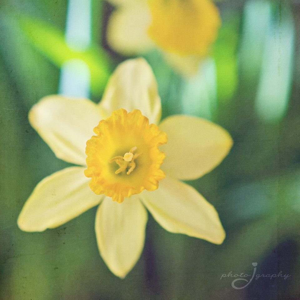Daffodils for April