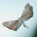 Small photo of Macrosoma species. (Moth- like Butterflies)