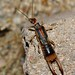 Labiduridae (Striped Earwigs)