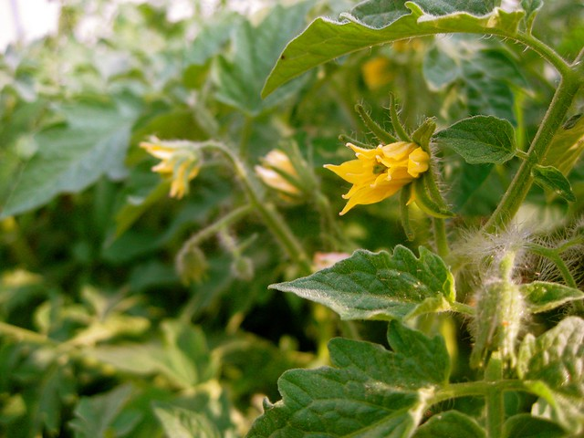Flowers on the John Baer tomato plants