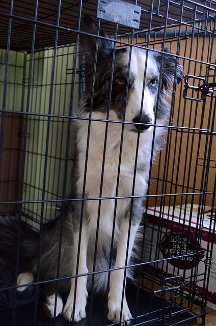 Angry collie.