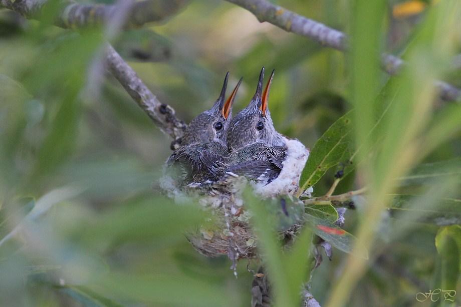 Hybrid Hummingbird nest 062912-2