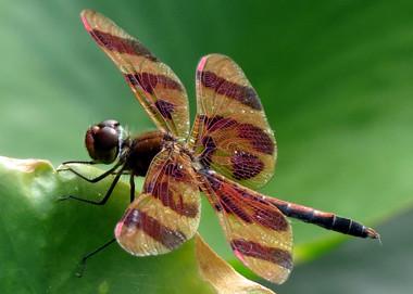 Dragonfly-Orange 380