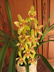 Cymbidium Dutchman's Gold