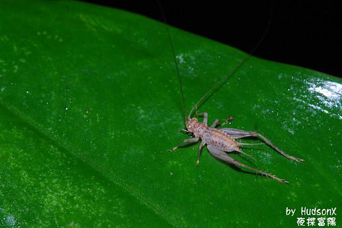 感覺像是蟋蟀的幼蟲?
