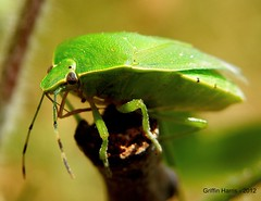 Green Stink Bug - McHenry County, Illinois