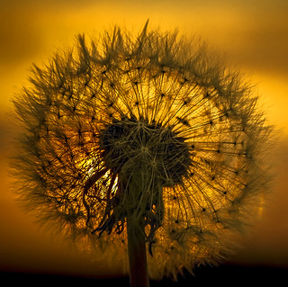 Dandelion in backlight